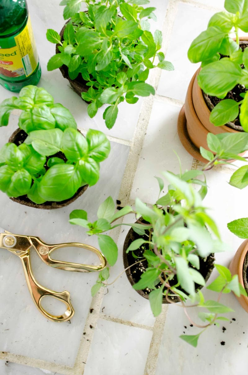 Plant a lush potted kitchen garden complete with all the essential cooking herbs for fresh summer taste all year round.