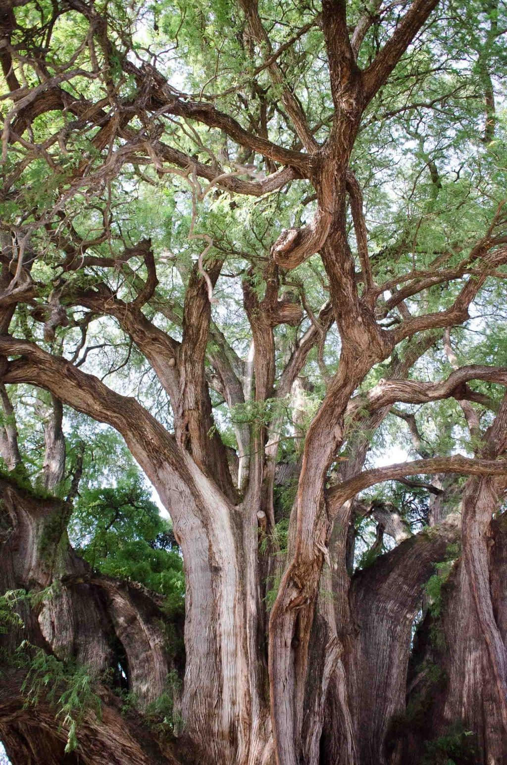 The Tule tree, largest tree in the world in Oaxaca, Mexico