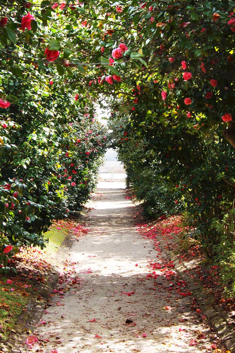 Camellia bushes forming an allée above a garden path in Charleston via @thouswellblog