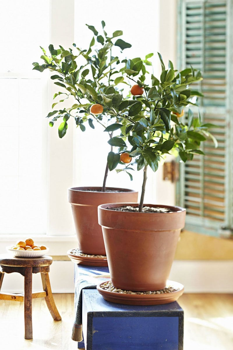 interiors with zest indoor citrus trees thou swell. Black Bedroom Furniture Sets. Home Design Ideas