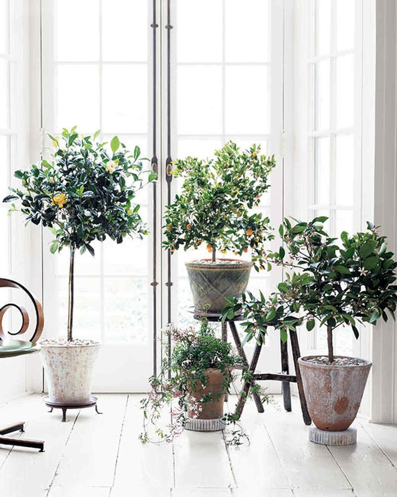 Potted Indoor Citrus Trees In A White Scandinavian Style Room, Plus How To  Care For